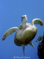 Turtle heading for the surface. by Stuart Ganz 